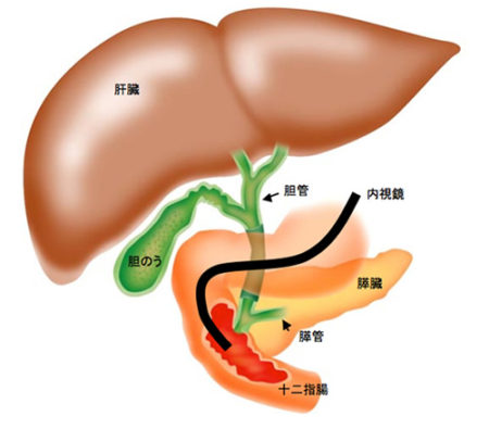 肝臓、膵臓、胆のう、十二指腸